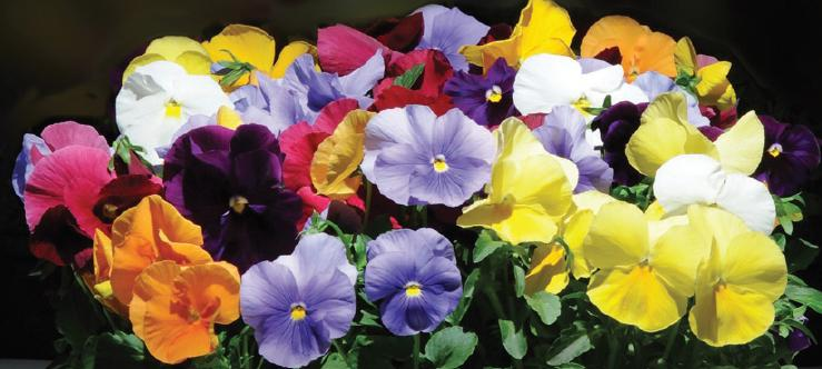 The Pansies are Here!