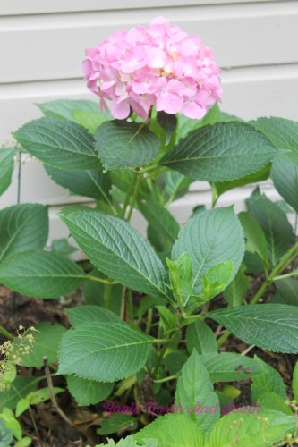 Pink hydrangeas on the garden tour