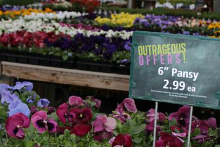 Pansies at American Plant