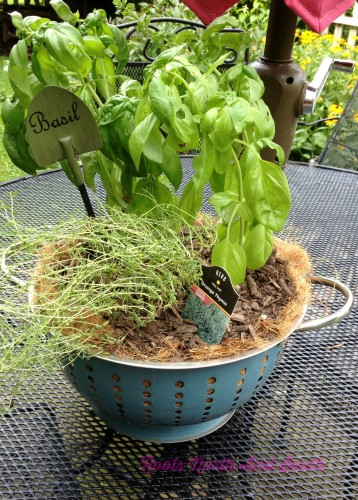 Growing Basil in a Colander
