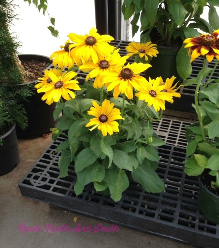 Black Eyed Susans in the Window Boxes