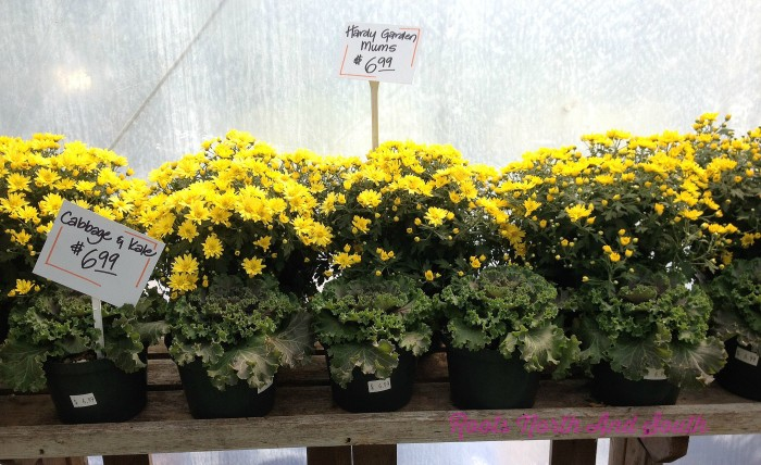 Mums for the fall window boxes