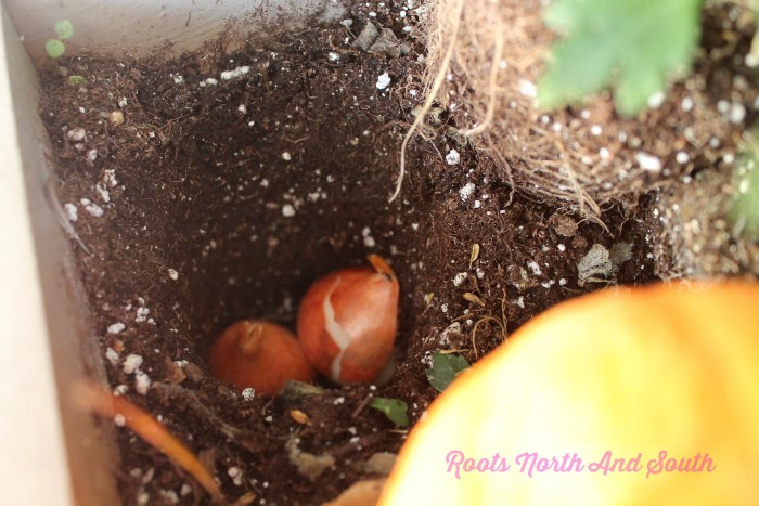 Planting bulbs in spring window boxes