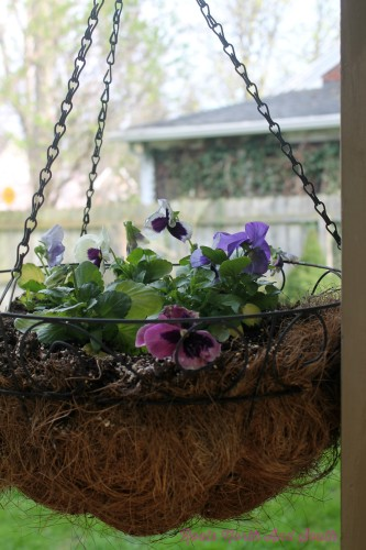 Pansies for Spring Containers