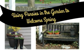 Passion for Pansies